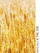Купить «Золотые колосья пшеницы», фото № 4746168, снято 9 июня 2013 г. (c) Vitas / Фотобанк Лори
