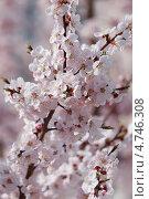 Купить «Розовые нежные цветы сакуры японской», фото № 4746308, снято 10 апреля 2013 г. (c) Ольга Липунова / Фотобанк Лори