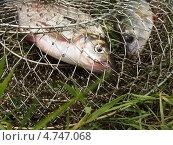 Рыба в садке. Стоковое фото, фотограф Евгений Мостяев / Фотобанк Лори
