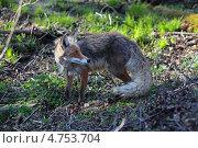 Купить «Молодая линяющая лисица в естественной среде обитания весной, Калининградская область», фото № 4753704, снято 5 мая 2013 г. (c) Игорь Долгов / Фотобанк Лори
