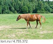 Купить «Рыжая лошадь на лугу», фото № 4755372, снято 8 июня 2013 г. (c) Инна Грязнова / Фотобанк Лори