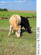 Коровы на пастбище. Стоковое фото, фотограф Александер Ляпин / Фотобанк Лори