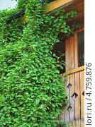 Купить «Лимонник ( Schisándra) — род листопадных или вечнозелёных растений семейства Лимонниковые (Schisandraceae). Лиана на деревянном доме», эксклюзивное фото № 4759876, снято 8 июня 2013 г. (c) Евгений Мухортов / Фотобанк Лори