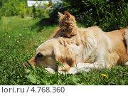 Рыжий котенок и собака лабрадор на даче. Стоковое фото, фотограф Копылова Ольга Васильевна / Фотобанк Лори