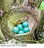 Купить «Гнездо дрозда с кладкой яиц», фото № 4777884, снято 28 мая 2013 г. (c) Владимир Федечкин / Фотобанк Лори