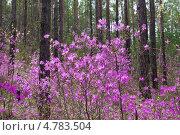 Купить «Цветение  багульника (Rhododendron dauricum) в Забайкальском крае», эксклюзивное фото № 4783504, снято 16 мая 2013 г. (c) Lora / Фотобанк Лори