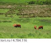 Коровы на зеленом лугу, Англия, графство Корнуолл, (Cornwall, UK) (2013 год). Стоковое фото, фотограф Гурова Анна / Фотобанк Лори