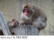 Японская макака с детенышем. Стоковое фото, фотограф Алексей Свирин / Фотобанк Лори