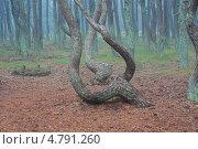 """Купить «""""Танцующий лес"""" на Куршской косе», фото № 4791260, снято 20 мая 2010 г. (c) Сергей Куров / Фотобанк Лори"""