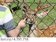 Кормление пятнистого оленя. Стоковое фото, фотограф Алексей Белобородов / Фотобанк Лори