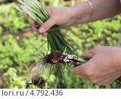 Сорванный лук с грядки в женских руках. Стоковое фото, фотограф Татьяна Петрова / Фотобанк Лори