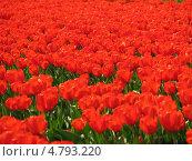 Красные тюльпаны. Стоковое фото, фотограф Константин Саночкин / Фотобанк Лори