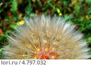 Козлобородник. Стоковое фото, фотограф Леонид Замыцкий / Фотобанк Лори