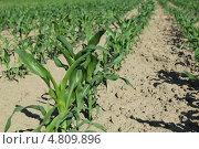 Молодые всходы кукурузы. Стоковое фото, фотограф Геннадий чупругин / Фотобанк Лори