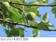 Яблоки на ветках. Стоковое фото, фотограф Алексей Турилов / Фотобанк Лори