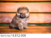 Купить «Маленький щенок померанского шпица сидит на скамейке», фото № 4812008, снято 25 июня 2013 г. (c) Сергей Лаврентьев / Фотобанк Лори
