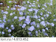 Цветы льна. Стоковое фото, фотограф Татьяна Лукьянова / Фотобанк Лори