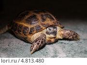 Черепаха. Стоковое фото, фотограф Татьяна Лукьянова / Фотобанк Лори