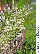 Купить «Ива цельнолистная японская (Salix integra 'Hakuro-Nishiki)», эксклюзивное фото № 4815356, снято 12 июня 2013 г. (c) Евгений Мухортов / Фотобанк Лори