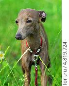 Купить «Собака породы левретка в траве», фото № 4819724, снято 11 июня 2013 г. (c) Эдуард Кислинский / Фотобанк Лори
