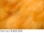 Перья цыпленка крупным планом. Стоковое фото, фотограф Digifuture / Фотобанк Лори