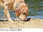 Золотой ретривер на пляже. Стоковое фото, фотограф Анастасия Марисенкова / Фотобанк Лори