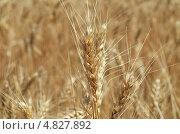 Спелые колосья пшеницы. Стоковое фото, фотограф Анастасия Марисенкова / Фотобанк Лори