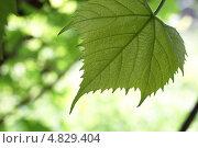 Лист винограда на желто-зеленом фоне. Vitis. Стоковое фото, фотограф Алексей Лугинин / Фотобанк Лори