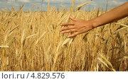 Купить «Женская рука на колосьях пшеницы», видеоролик № 4829576, снято 6 июля 2013 г. (c) Mikhail Erguine / Фотобанк Лори