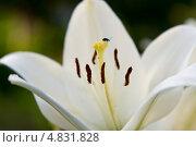 Маленький жучок на пестике лилии. Стоковое фото, фотограф Юлия Киктенко / Фотобанк Лори