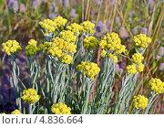 Купить «Бессмертник, лекарственные травы», фото № 4836664, снято 22 июня 2013 г. (c) FMRU / Фотобанк Лори