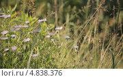 Купить «Полевые ромашки», видеоролик № 4838376, снято 24 июня 2013 г. (c) Юрий Александрович Балдин / Фотобанк Лори