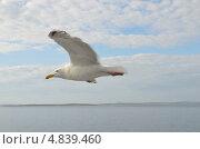 Купить «Чайка в полете над Белым морем», фото № 4839460, снято 6 июля 2013 г. (c) Овчинникова Ирина / Фотобанк Лори