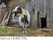 Купить «Коза на привязи», эксклюзивное фото № 4841772, снято 10 мая 2013 г. (c) Dmitry29 / Фотобанк Лори