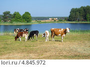 Купить «Коровы пасутся на берегу озера Селигер», эксклюзивное фото № 4845972, снято 26 июня 2013 г. (c) Елена Коромыслова / Фотобанк Лори