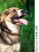 Портрет собаки с высунутым от летней жары языком. Стоковое фото, фотограф Анастасия Новикова / Фотобанк Лори