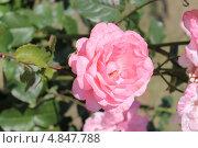 Розовая роза. Стоковое фото, фотограф Елена Скрипина / Фотобанк Лори