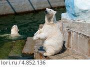 Белый медведь. Стоковое фото, фотограф Денис Веселов / Фотобанк Лори