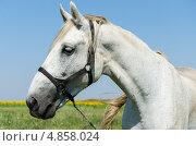 Портрет белой лошади. Стоковое фото, фотограф Анастасия Марисенкова / Фотобанк Лори
