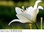 Белая лилия. Стоковое фото, фотограф Юлия Киктенко / Фотобанк Лори