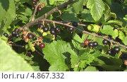 Купить «Ягоды черной смородины», видеоролик № 4867332, снято 17 июля 2013 г. (c) Андрей Некрасов / Фотобанк Лори
