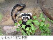 Купить «Перевязка. Vormela peregusna», фото № 4872108, снято 19 июля 2013 г. (c) Евгений Суворов / Фотобанк Лори