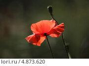 Красный мак. Стоковое фото, фотограф Юлия Соловьёва / Фотобанк Лори