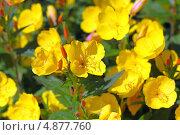 Купить «Энотера кустарниковая  (Oenothera fruticosa L. )», эксклюзивное фото № 4877760, снято 12 июля 2013 г. (c) Евгений Мухортов / Фотобанк Лори