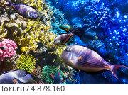 Купить «Кораллы и рыбы-хирурги в Красном море. Египет», фото № 4878160, снято 3 сентября 2012 г. (c) Vitas / Фотобанк Лори