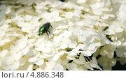 Купить «Бронзовка золотистая, или обыкновенная (Cetonia aurata) на цветах гортензии (Hydrangea)», эксклюзивный видеоролик № 4886348, снято 23 июля 2013 г. (c) Алёшина Оксана / Фотобанк Лори