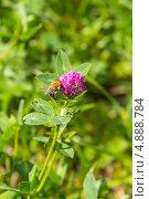 Купить «Шмель на цветке розового клевера на фоне зеленой травы», эксклюзивное фото № 4888784, снято 17 июля 2019 г. (c) Дарья Родоманова (Проскурина) / Фотобанк Лори