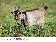 Купить «Портрет козла», фото № 4890828, снято 24 июля 2013 г. (c) Сычёва Татьяна / Фотобанк Лори