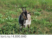 Купить «Портрет козла», фото № 4890840, снято 24 июля 2013 г. (c) Сычёва Татьяна / Фотобанк Лори