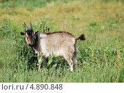 Купить «Портрет козла», фото № 4890848, снято 24 июля 2013 г. (c) Сычёва Татьяна / Фотобанк Лори